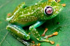 Endangered Species Spotlight: Barbour's Forest Frog : The Featured Creature