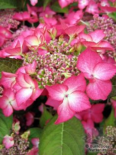 These images were from Burncoose Nurseries.  Hot pink Hydrangea.