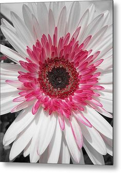 Gerbera daisy - name of color combo? Amazing Flowers, My Flower, Pink Flowers, Beautiful Flowers, Agaves, Gerber Daisies, Flowers Nature, Flower Pictures, Trees To Plant
