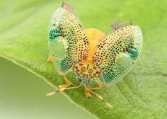 カメノコハムシの一種 (ハムシ科:トゲハムシ亜科:カメノコハムシ族) A tortoise beetle (Chrysomelidae: Hispinae: Cassidini) 体長:4 mm 撮影地:リンコン・デ・ラ・ビエハ、コスタリカ
