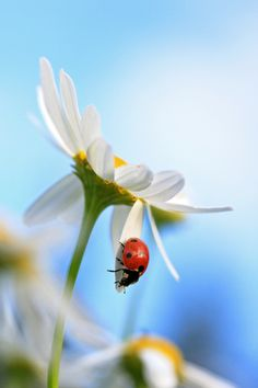 """Ladybug: """"He loves me; he loves me not...""""    (Photo By: Siv Wester on 500px.)"""