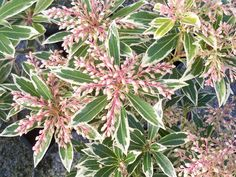 Pieris Japonica 'Flaming Silver''s variegated leaves offer a gorgeous contrast to the deep green leaves of a holly or azalea. Beautiful red new growth. Woodland Plants, Woodland Garden, Pieris Japonica, Landscaping Plants, Landscaping Ideas, Backyard Ideas, Garden Ideas, Rockery Garden, Plant Zones
