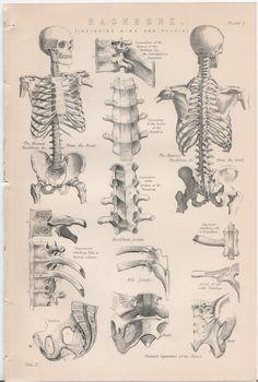 Set of 4 Vintage Anatomy Plates: The Back Bone por WorldofRareBooks