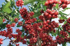 Producción de café de Colombia creció 26% en el primer trimestre del 2013