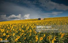 rm exclusive lost horizon images sunflowers - Google Search