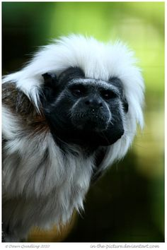 Cotton Top Tamarin - critically endangered