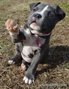A blue nose American Bully Pit puppy is sitting and grass and she is lifting her left paw in the air looking up.