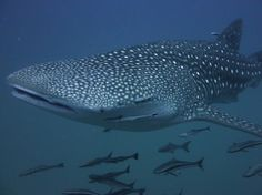 The whale shark is a shark! Sharks are a group of fish characterized by a cartilaginous skeleton. Whale sharks do not eat divers! contrary to a few customers beliefs. Scuba Diving Thailand, Shark Diving, Whale Sharks, Koh Phangan, Skeleton, Fish, Group, Eat, Pisces