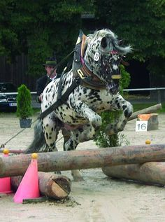 Harness draft carriage horse equine Clydesdale Percheron Shire Hafflinger Gypsy Vanner Cob by Divonsir Borges Noriker Horse, Appaloosa Horses, Most Beautiful Animals, Beautiful Horses, American Paint Horse, Shire Horse, Horse Gear, All About Horses, Majestic Horse