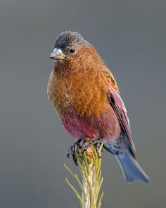 The Browned Capped Rosy Finch - Leucosticte australis, is a medium-sized finch. Their breeding habitat is mountain peaks in the central Rock...