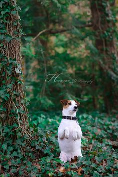 Jack Russell Terrier  .....Mine does this all the time sjm
