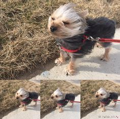 When when it's windy, they look ridiculous. | 21 Reasons Why You Should Never Own A Yorkshire Terrier