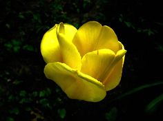 Yellow tulip with black background- flower photography, garden photography, digital download, spring flower, yellow flower, office decor   Original photograph available as a DIGITAL DOWNLOAD. You will receive 1 high resolution .jpg file that is 3648 X 2742 pixels.   *PLEASE READ BEFORE PURCHASING * -Colors may vary slightly due to printer and monitor differences. -No physical items will be sent or mailed. -Due to the nature of this product, all purchases of downloadable files are final, and…