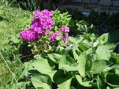 Azalee Garden, Plants, Garten, Gardening, Plant, Outdoor, Gardens, Yard, Planting