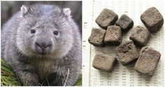 Look, everybody poops. But the wombat's poop is unique from other animals because their poop is cube shaped. Funny Images, Best Funny Pictures, Cute Wombat, The Wombats, Naruto, Anime, Polar Bear, Cute Animals, Creatures