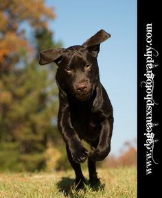 ©www.dageauxsphotography.com / Chocolate Lab Puppy - loving how he plays!