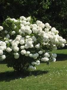My grandma had one of these.  I loved this tree. Snowball bush.