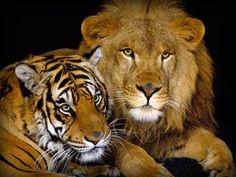 Lew vs tygrys.