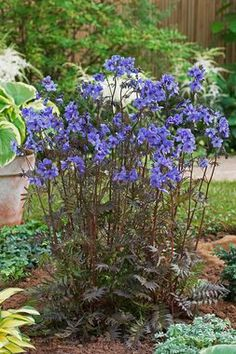 Polemonium yezoense Purple Rain Jacobs Ladder Type: Perennials Height: Medium 20 (Plant 12-15 apart) Bloom Time: Spring to Early Summer  Sun-Shade: Mostly Sunny to Full Shade  Zones: 3-7  Find Your Zone Soil Condition: Normal  Flower Color / Accent: Purple / Purple