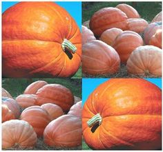 10 DILL'S ATLANTIC GIANT Pumpkin seeds ~ RECORD BREAKING AT 1689 LB competitions by MySeeds.Co. $2.39. This Order = 10 Seeds ~!!. S&H is a FLAT RATE NO MATTER HOW MUCH YOU ORDER FROM US ~!!. www.amazon.com/gp/product/B00AXAR1HW. Click or Copy & Paste Link Below For Bulk Order. ~~ OVER 1,000+ VARIETIES & EXPANDING TO CHOOSE FROM ~~!!. ~ ~ ~ WE OFFER BOTH PKT. & BULK SIZES ~ ~ ~ DILL'S ATLANTIC GIANT PUMPKIN 120 days. This is the LARGEST pumpkin known to mankind recently reachin...