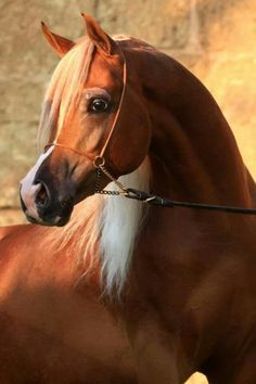 "This magnificent horse of remarkable genetic purity is rightly called the ""fountainhead"" of all horse breeds. There are hardly any horse breeds that has not benefited from the genes of the Arabian Horse. Beautiful Arabian Horses, Majestic Horse, Horses And Dogs, Show Horses, Horse Photos, Horse Pictures, Arabian Stallions, Arabian Beauty, Most Beautiful Animals"