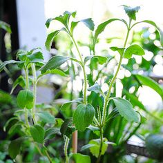 What you need to know about Stevia #sugarfree #happysugarhabits http://happysugarhabits.com/what-you-need-to-know-about-stevia/