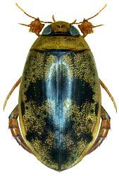 Rhantaticus congestus (Klug, 1833) - Dytiscidae
