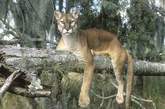 Florida Panther, They are so beautiful and so sad they are Endangered! Florida Panthers, Vintage Florida, Old Florida, Big Cat Species, Animals And Pets, Cute Animals, Foto Fantasy, Mountain Lion, Mundo Animal