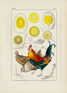 Domestic Chicken, Rooster Print from Medicinal Prints of Cannabis, Poppy, Digitalis, Cacoa, Chocolate by Winkler