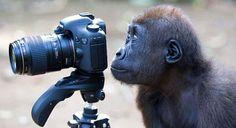Monyet Ini Kehilangan Hak Cipta Atas Foto-fotonya