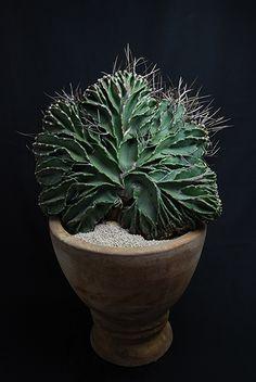 Astrophytum capricorne v. crassispinum f. cristata