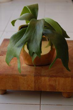 Staghorn Fern - Indoor plant