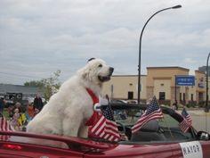 Duke the Dog, Elected Mayor of Cormorant, MN - @dogIDs #blog