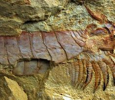 Palaeontologists have uncovered a beautifully preserved 520 million year old arthropod. This is one of the oldest animal fossils ever found.