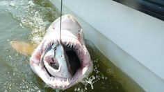 Shark swallowed whole by another shark #animals #shark