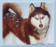 Wonderful All About The Siberian Husky Ideas. Prodigious All About The Siberian Husky Ideas. Red Siberian Husky, Siberian Husky Training, Alaskan Husky, Siberian Husky Puppies, Husky Mix, Husky Puppy, New Puppy, Siberian Huskies, Dogs 101