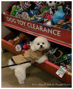 Of course I shop! Who else can pick out the good toys? #Petsmart with Beau & Bella Bichon