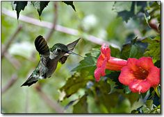 Trumpet vines really do attract hummingbirds. I had them at the corner of the front porch...pretty sure they're annuals.