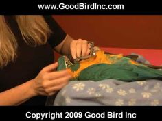 Training a new parrot with positive reinforcement can set them up for a lifetime of success. In this video you can see two young parrots (Beni and Wrigley) d. Parrot Pet, Parrot Toys, Parrot Bird, Budgies, Parrots, Cockatiel Care, Learn To Speak Italian, Talking Animals, New Environment