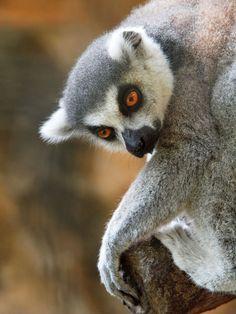 posing lemur by Irawan Subingar on 500px