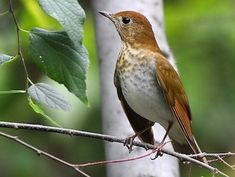 "VEERY (Catharus fuscescens) - gets its name from the cascade of ""veer"" notes that make up its ethereal, reedy song at dusk and dawn in summer. Breeds in rich deciduous woodland and forest with well-developed understory across northern North America. These birds hop through the forest understory as they forage for insects and fruit. They spend winters in South America. © Bill Benish, Central Park, New York, September 2010,"