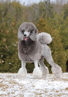 Dog Grooming Styles, Poodle Grooming, Beautiful Dogs, Animals Beautiful, Cute Animals, Cutest Dog On Earth, Poodle Haircut, Poodle Cuts, Dog Grooming Business