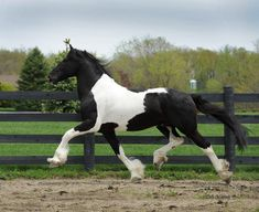 Barock Pinto stallion Dream Gait's Bizkit