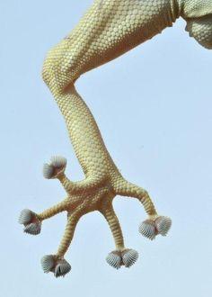 the Sinai fan-fingered gecko