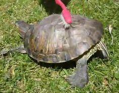cute laughing turtle   dancing-turtle.png