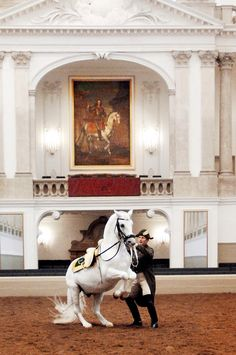Lipizzaner beautifully executing the most demanding movement of Haute Ecole - the Levade.