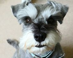 Mini Schnauzer & love of my life, Little Bear