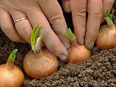 Het planten van uien