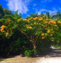 Rare Golden Poinciana on Grounds