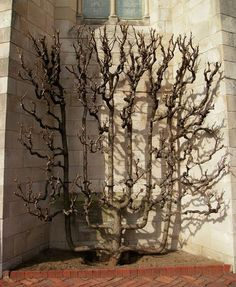 Espalier is the process of making two-dimensional forms out of trees. A popular practice in Medieval times, the craft likely dates back to ancient Egypt. Espalier can be used to make ornamental trees, increase the yield of a fruit tree, or build a fence or wall from growing trees. This one can be seen at the Cloisters in Manhattan, New York.